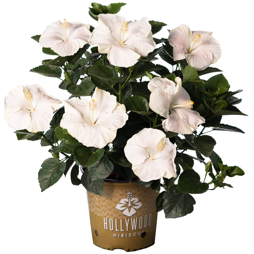 Earth Angel™ Hollywood® Hibiscus