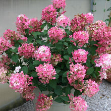 Fire Light® Hydrangea Shrub