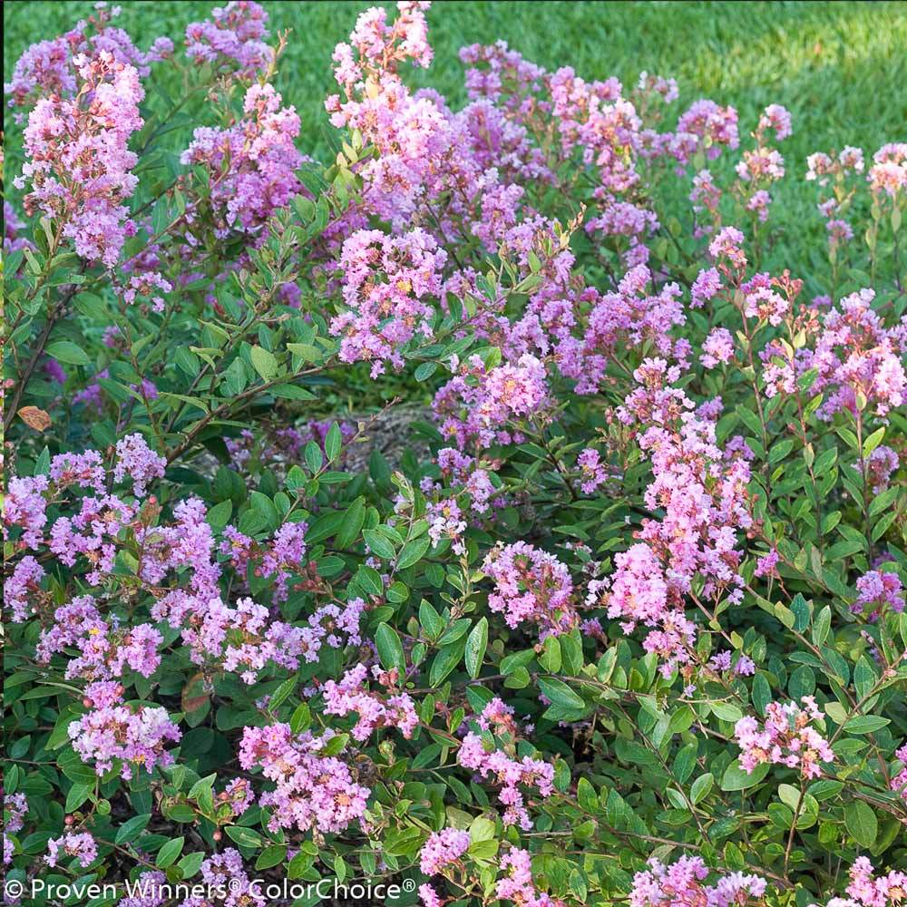 Infinitini® Orchid Dwarf Crape Myrtle Tree