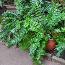 Holly Fern Plant