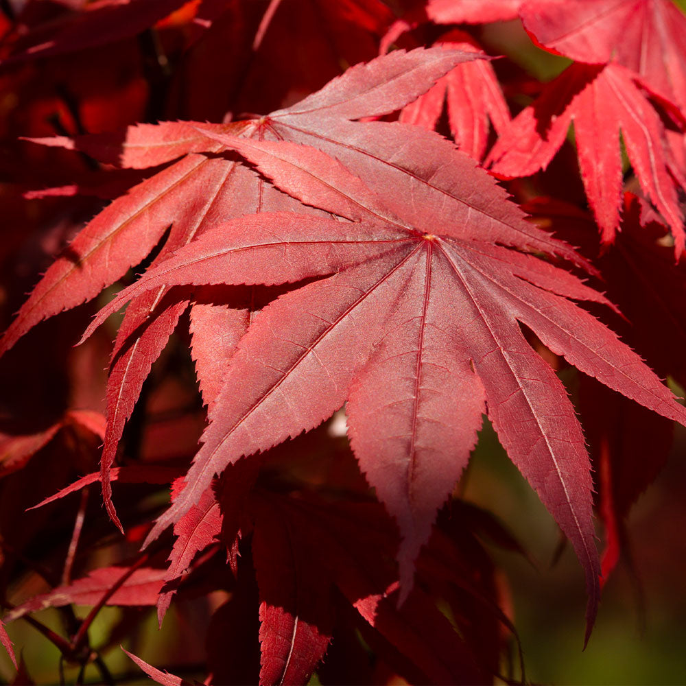 Emperor Japanese Maple Tree