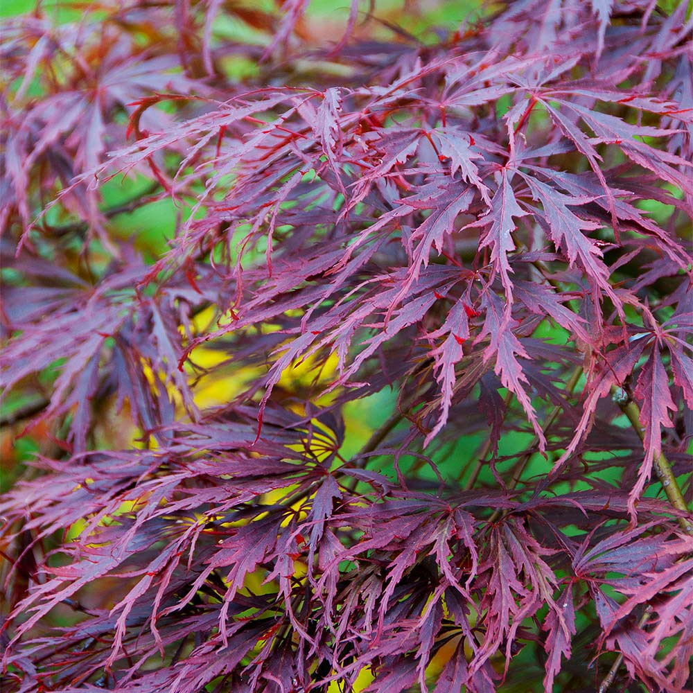 Tamukeyama Japanese Maple Tree