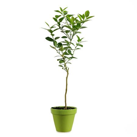Key Lime Gift Tree