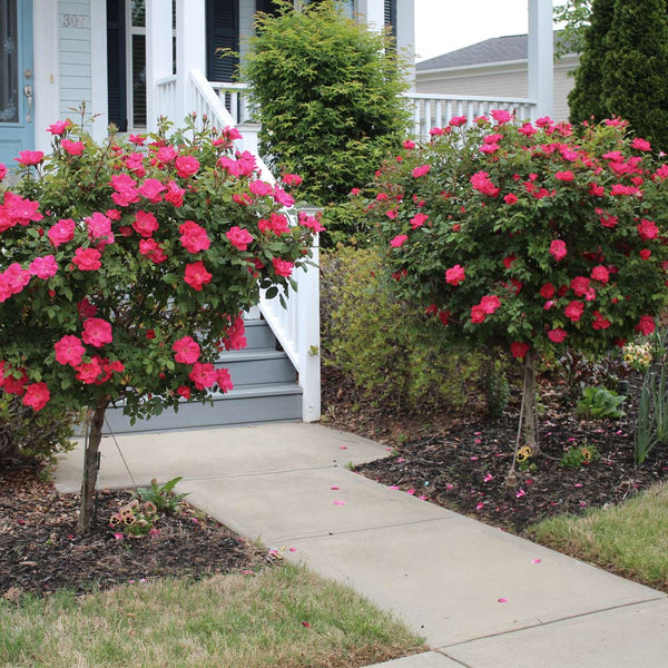 Red Knock Out Rose Trees For Sale Brighterblooms Com