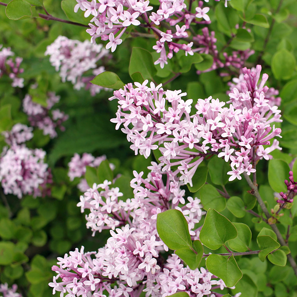 Dwarf Korean Lilac Shrub
