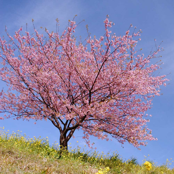 Kwanzan Cherry Trees For Sale Brighterblooms Com