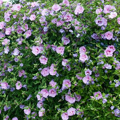 Lavender Hibiscus Syriacus Shrubs For Sale
