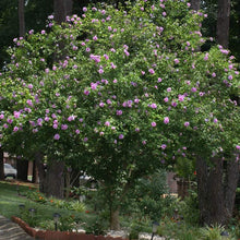 Lavender Rose of Sharon Tree