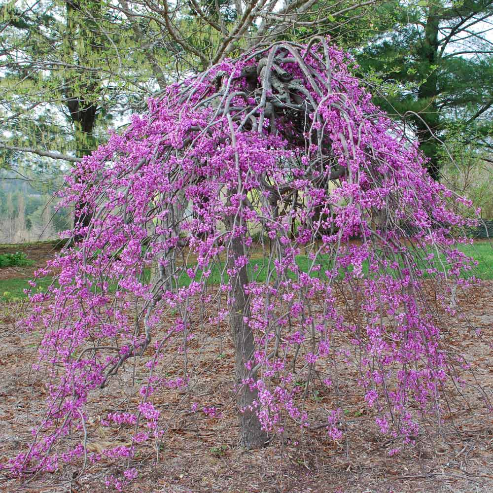 Lavender Twist® Weeping Redbud Tree