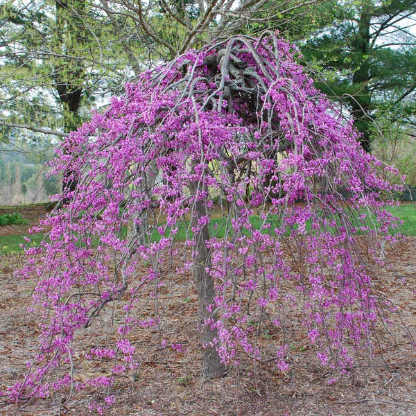 Lavender Twist Weeping Redbuds for Sale | BrighterBlooms.com