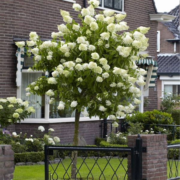 Limelight Hydrangea Trees For Sale Brighterblooms Com