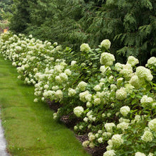 Little Lime® Hydrangea Shrub
