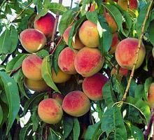 Majestic Peach Tree