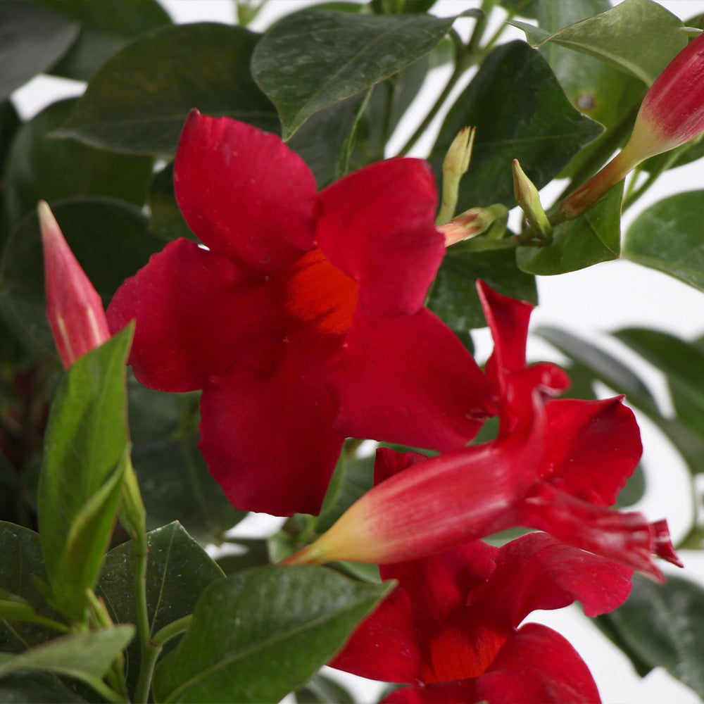 Mandevilla 'Crimson Red' Vine
