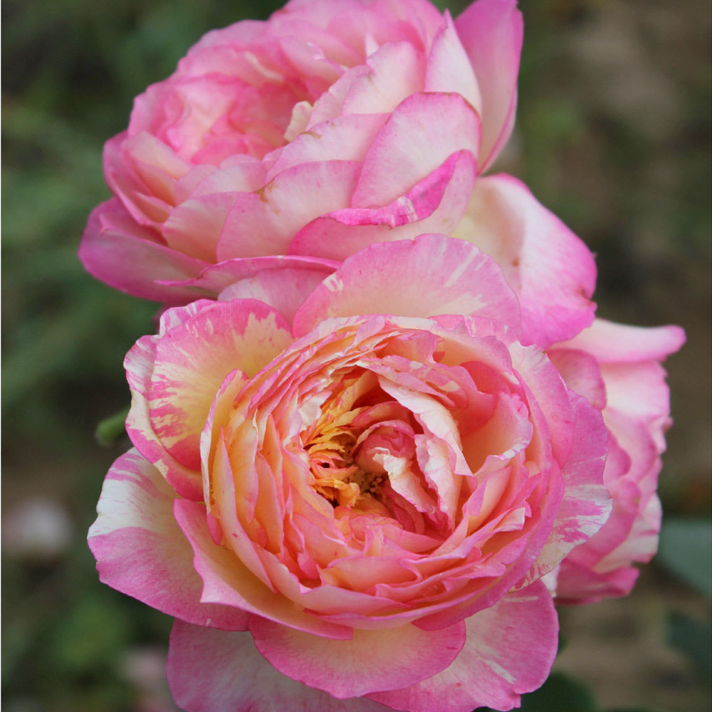 Marc Chagall™ Rose