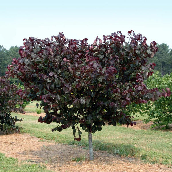 Merlot Redbud Trees For Sale Brighterblooms Com