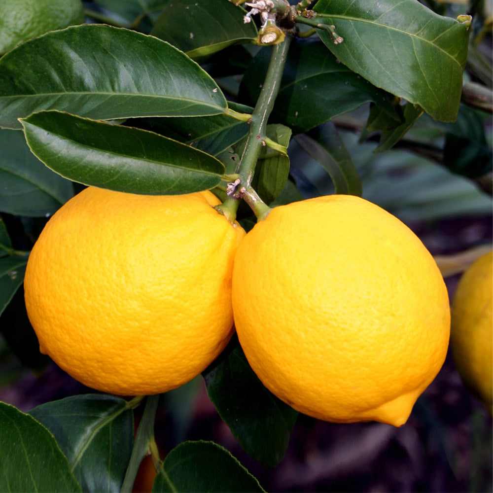 Meyer Lemon Trees For Sale Brighterblooms Com