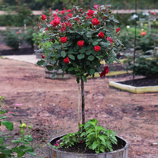 Miracle on the Hudson™ Rose Tree