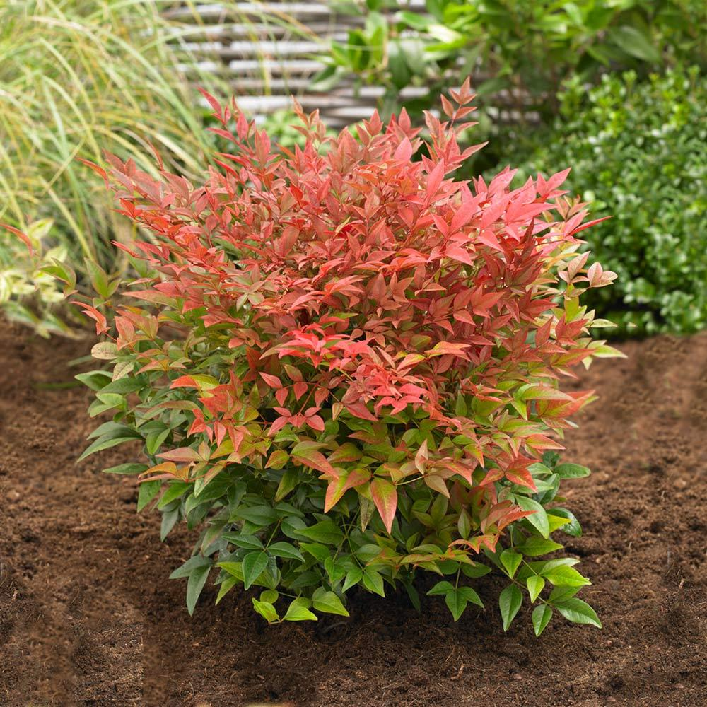 Obsession™ Nandina Shrub