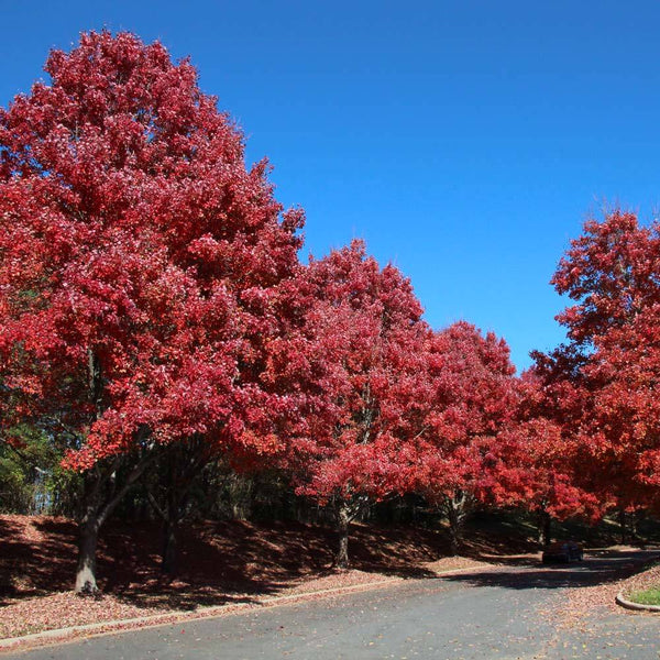 October Glory Maple Trees For Sale Brighterblooms Com