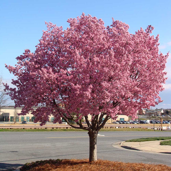 Okame Cherry Trees For Sale Brighterblooms Com