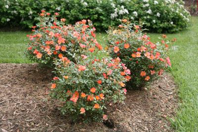 Oso Easy'® Hot Paprika Rose