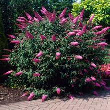 Pink Delight Butterfly Bush