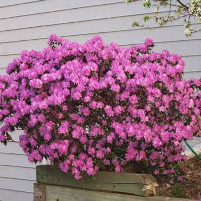 Pjm Rhododendrons For Sale Brighterblooms Com