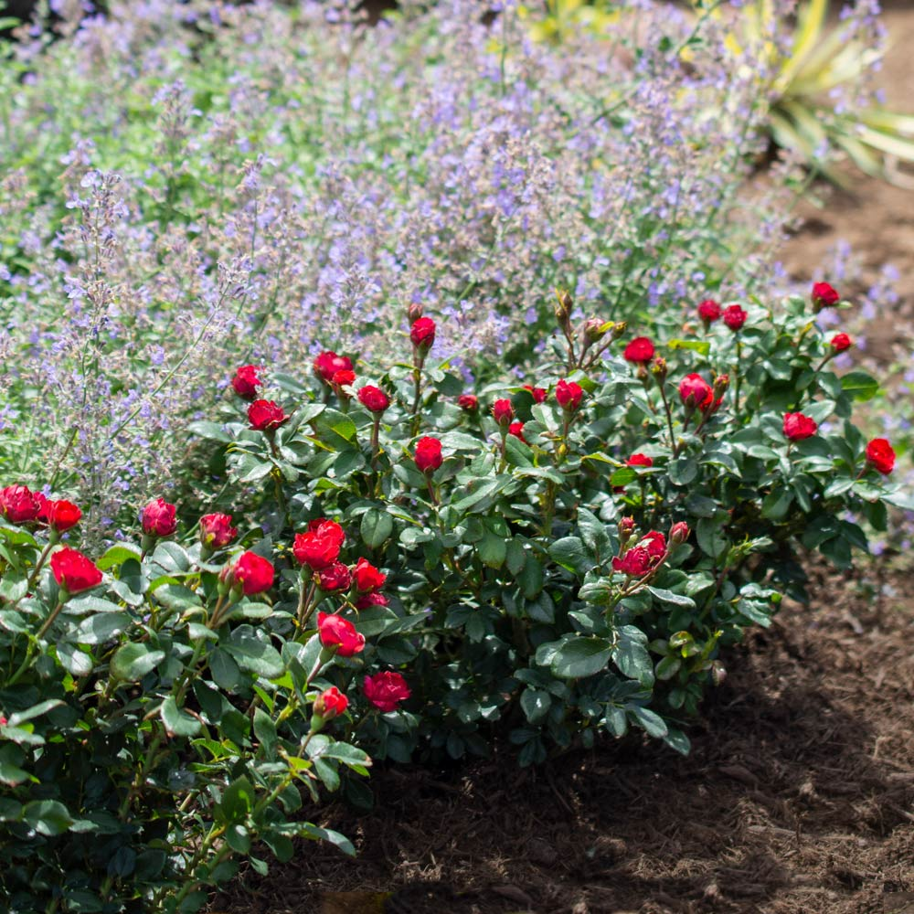 Petite Knock Out® Rose Shrub