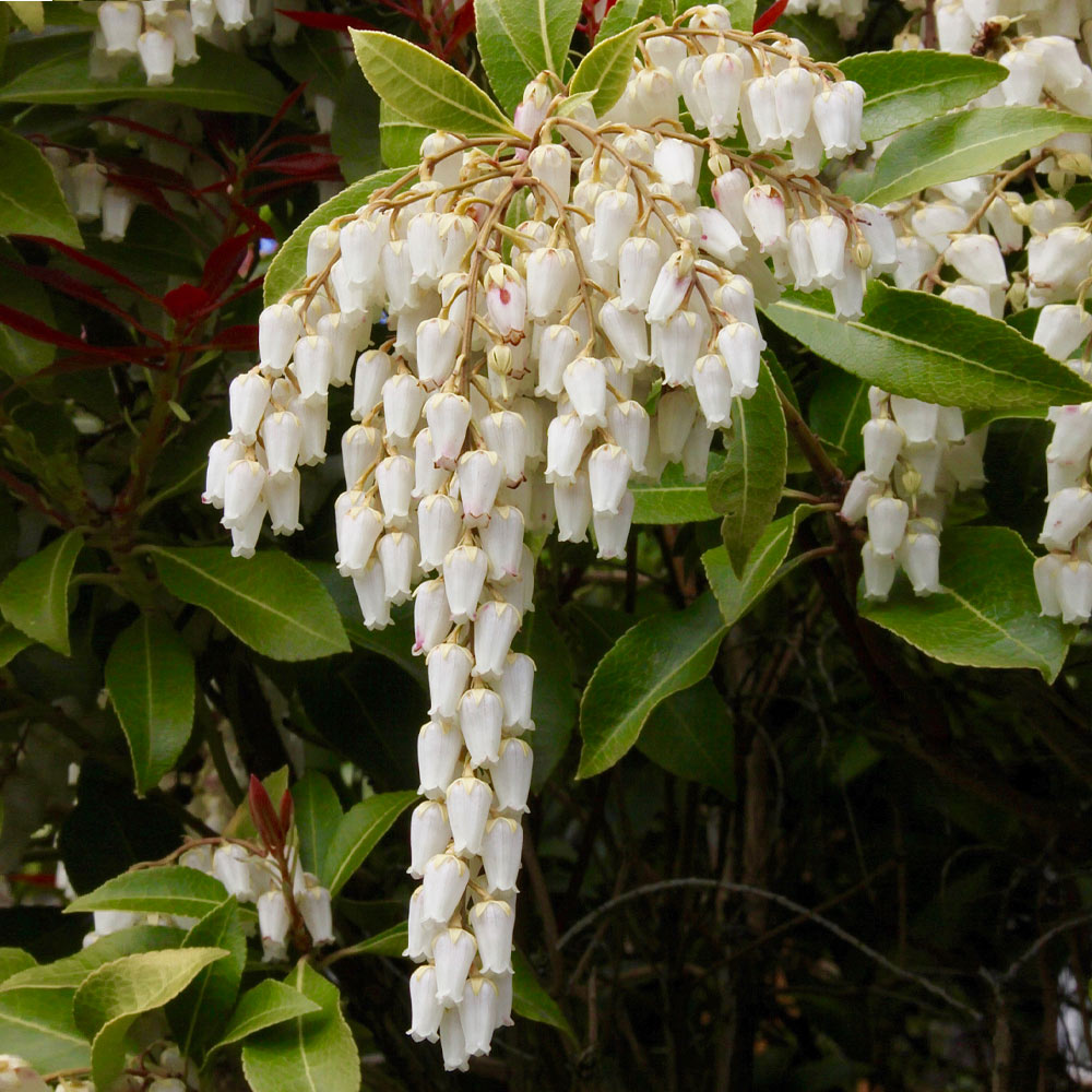 Pieris Mountain Fire Plant