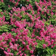 Pocomoke Crape Myrtle Tree