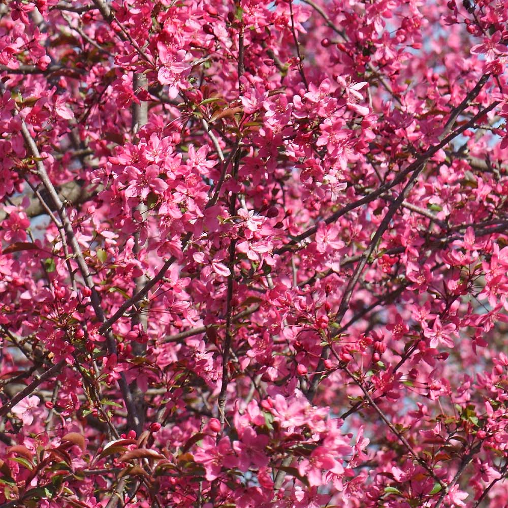 Indicators on Crabapple Tree You Should Know