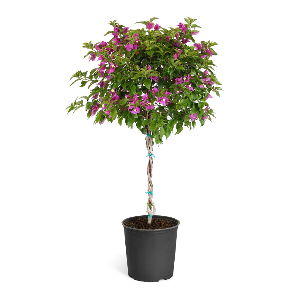 New River Bougainvillea Tree