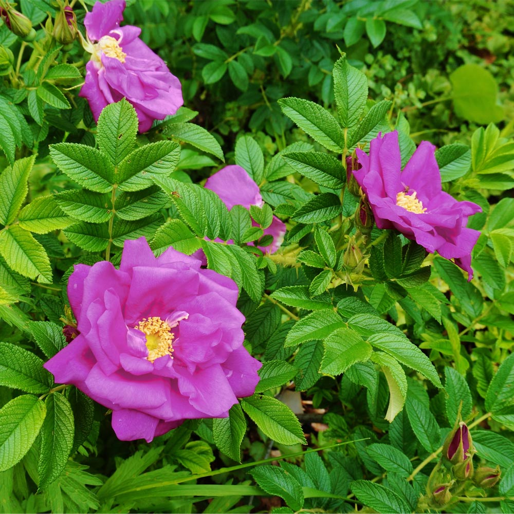 Purple Pavement Rose