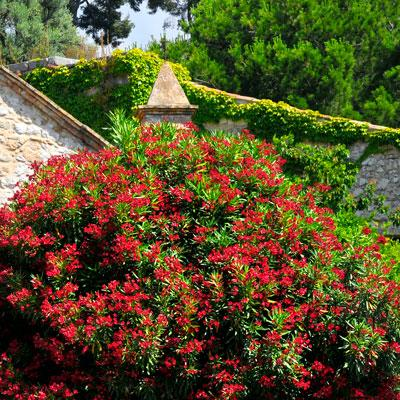 Red Oleander Shrub