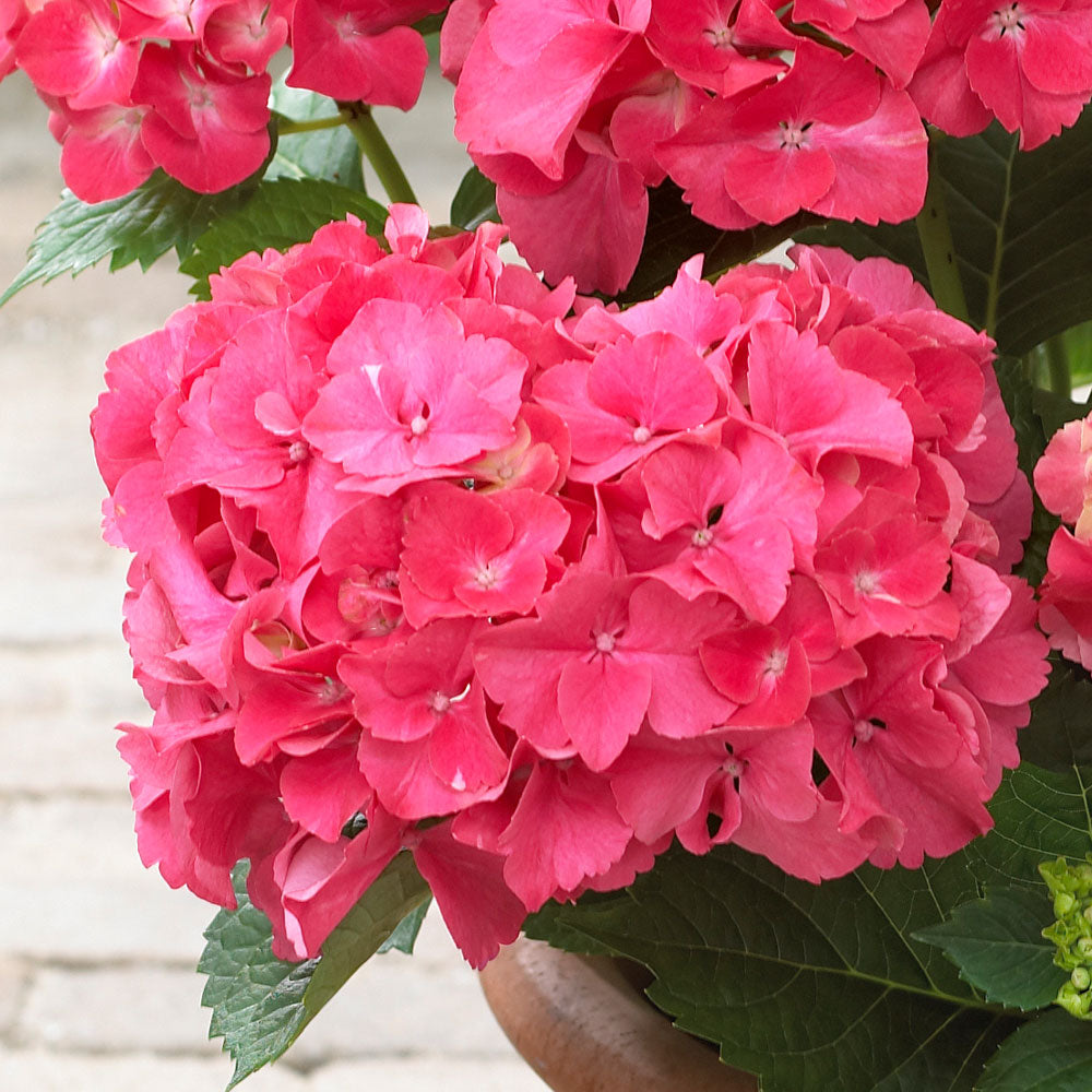 Red Sensation Hydrangea Shrub