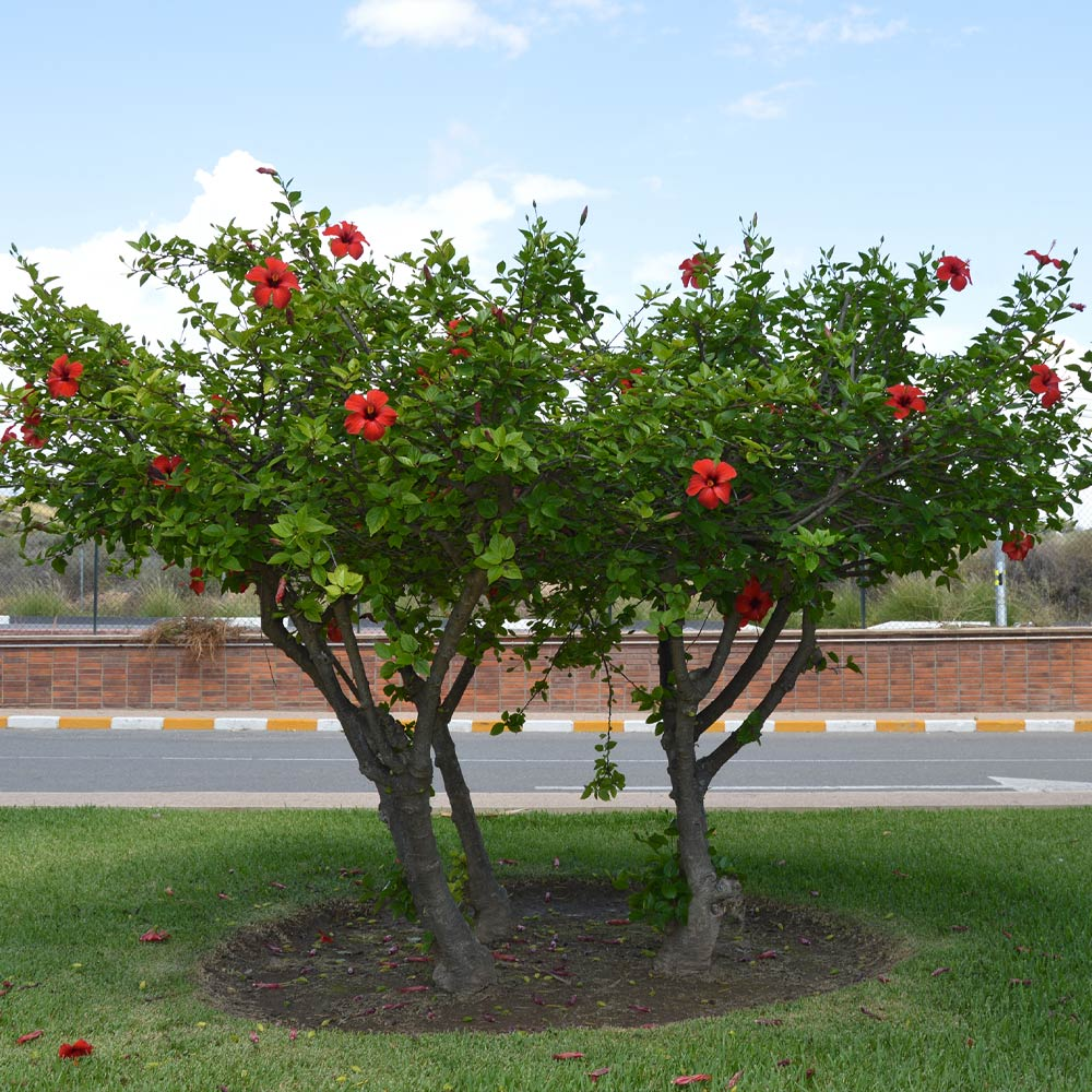 Red Tropical Hibiscus Tree