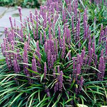 Royal Purple Liriope Shrub