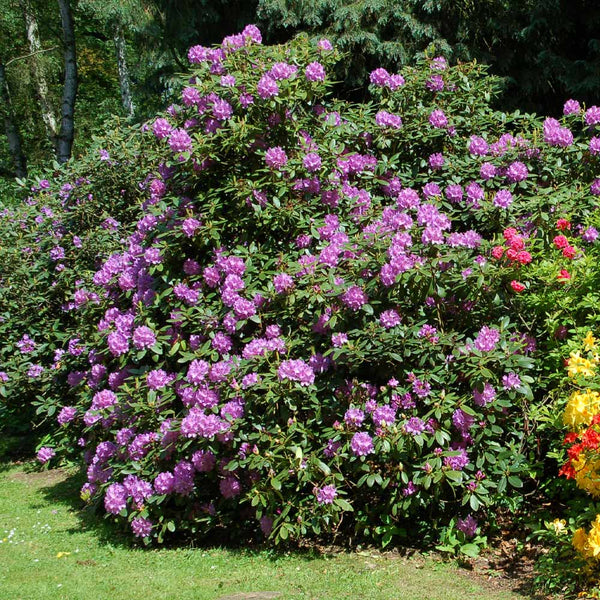 Lavender Rhododendrons For Sale Brighterblooms Com