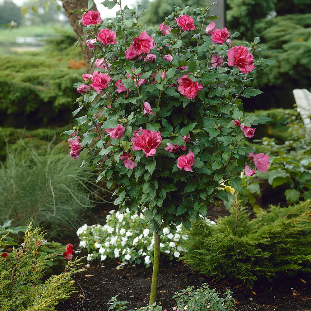 Red Rose of Sharon Althea Tree