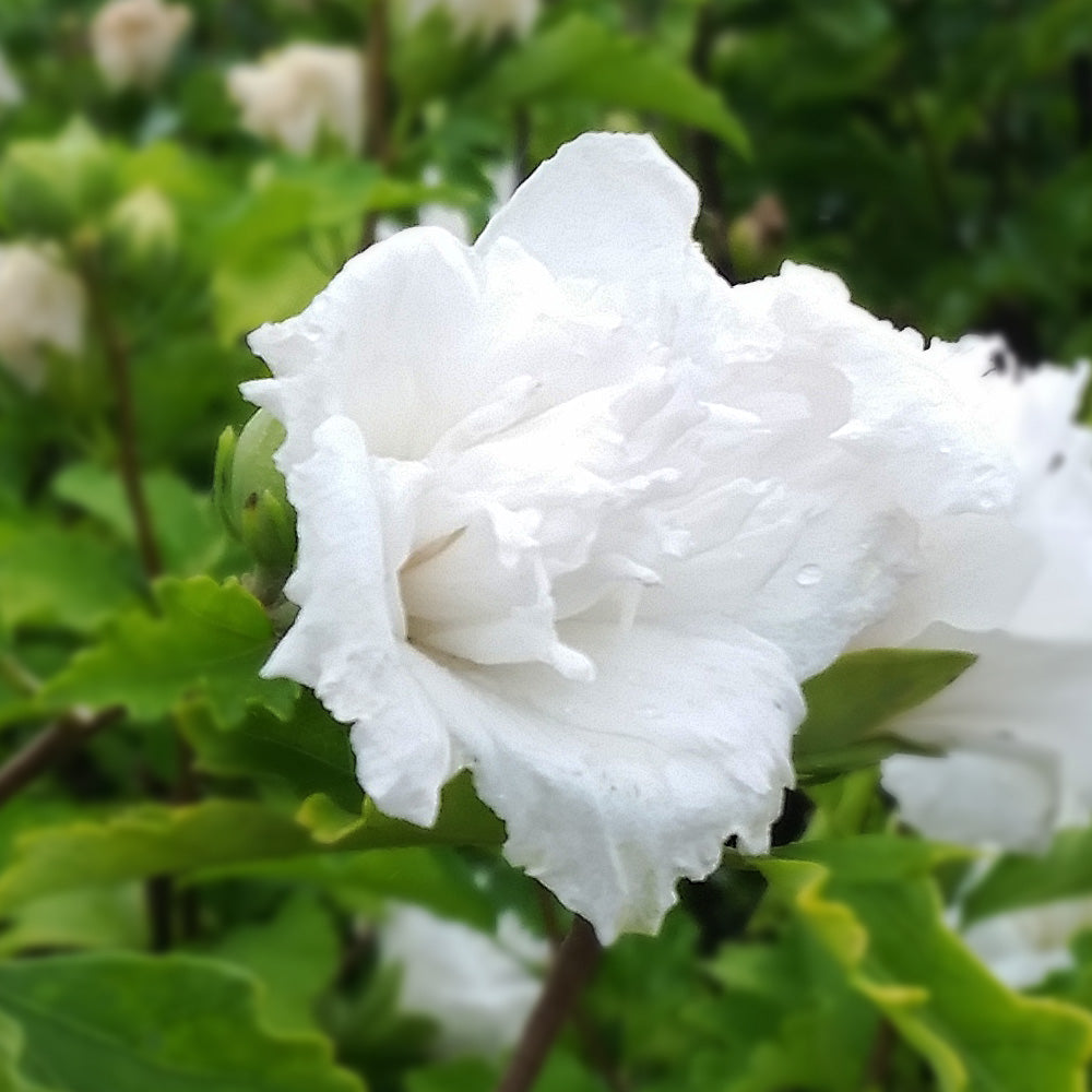 White Rose of Sharon Althea Tree