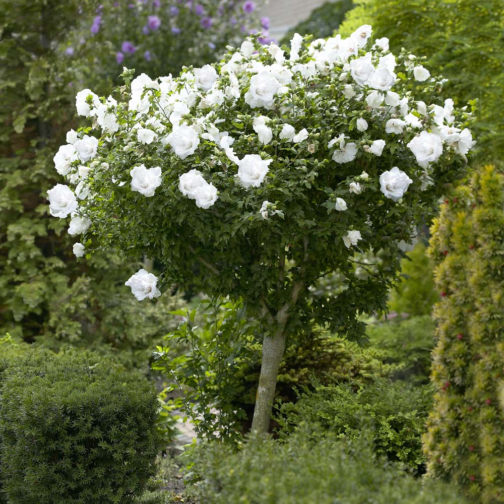 White Rose Of Sharon Althea Trees For Sale Brighterblooms Com