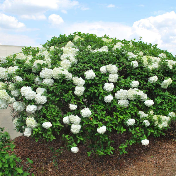 Snowball Bushes For Sale Brighterblooms Com