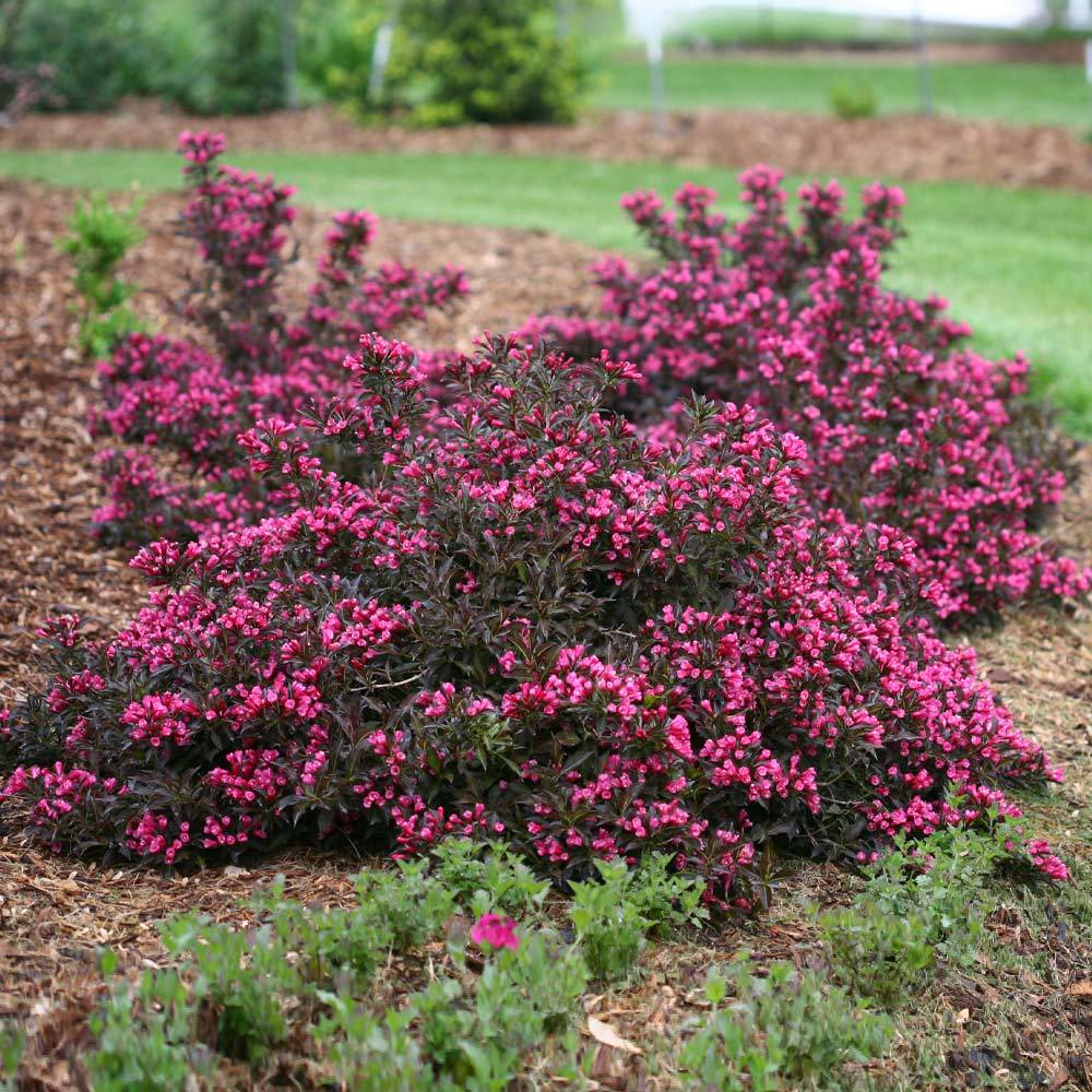 Spilled Wine Weigela Shrub