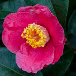 Spring's Promise Camellia