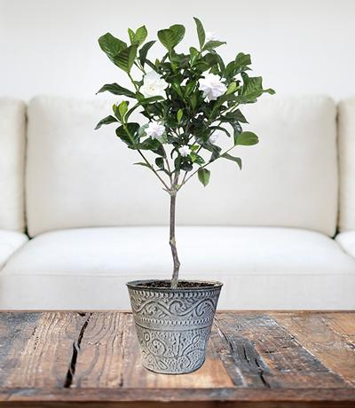 First Love® Tabletop Gardenia Plant