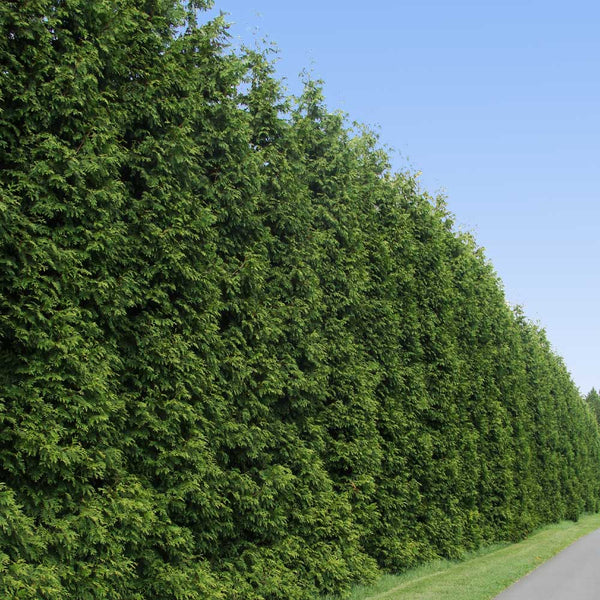 Thuja Green Giant Arborvitae Evergreens For Sale