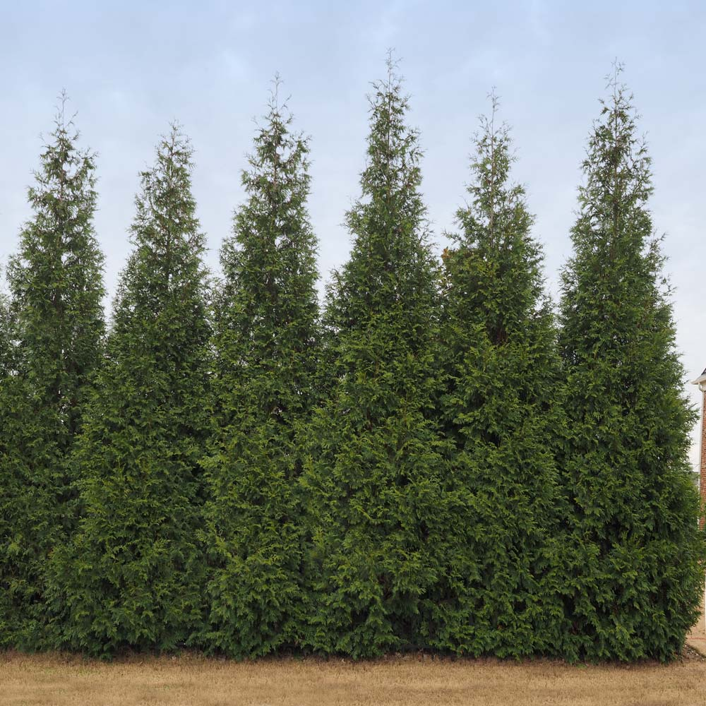 Junior Giant Thuja Trees For Sale Brighterblooms Com