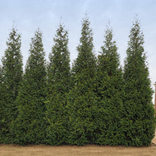 Junior Giant Thuja Tree