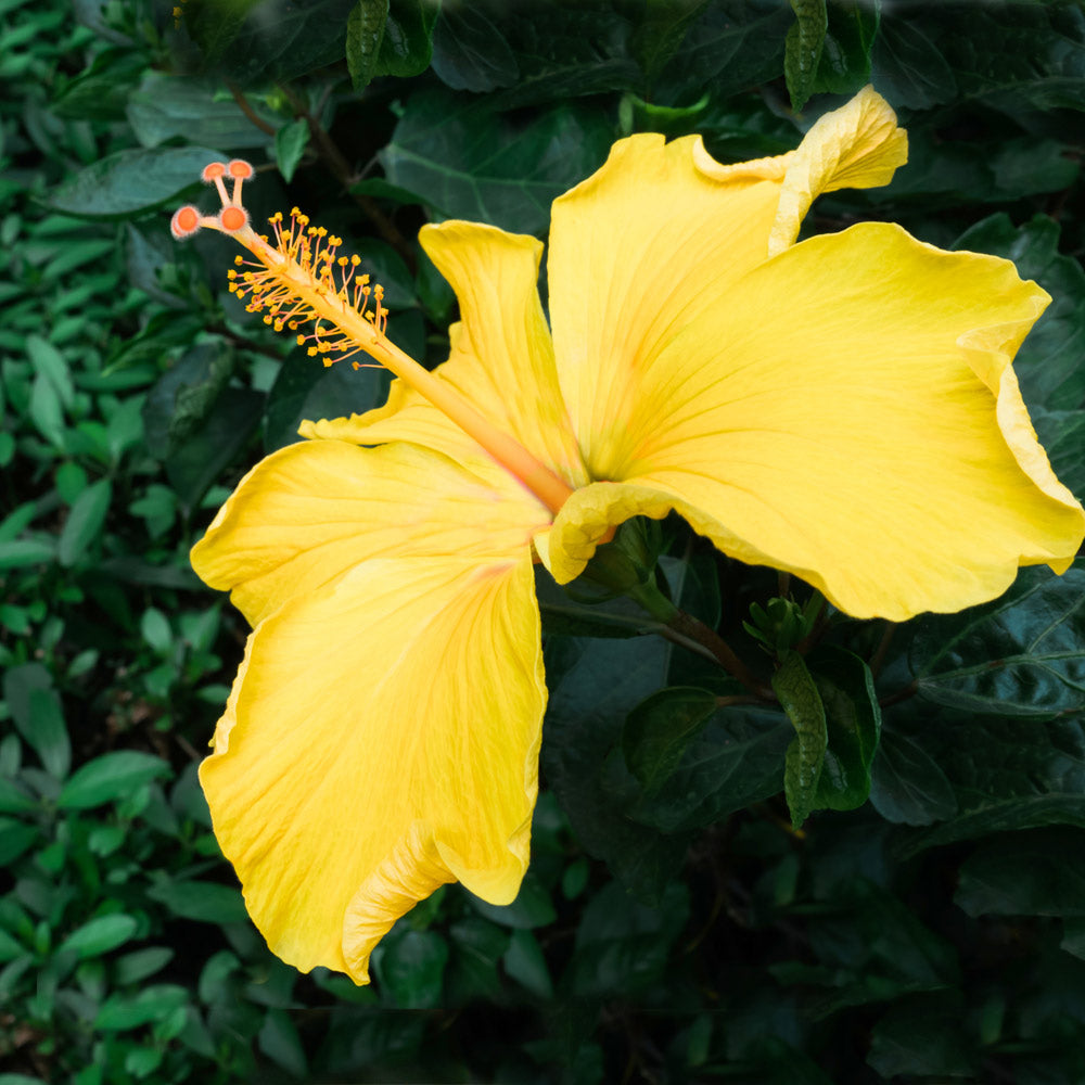 Yellow Tropical Hibiscus Tree